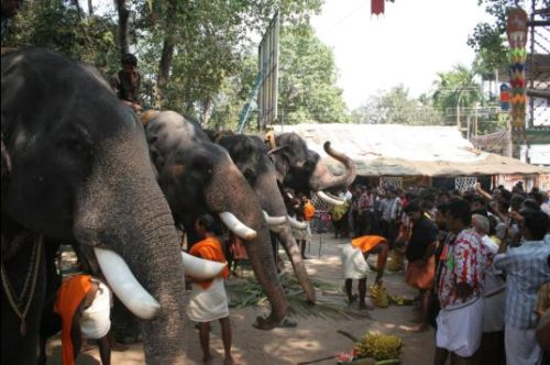 Elephant Eating Bananas In Aanayoottu Festivals